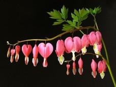 荷包牡丹植物图