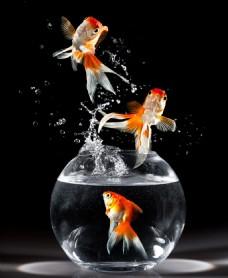 金鱼跳出鱼缸背景图片素材