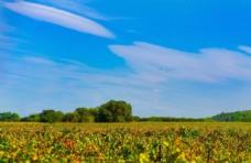 蓝天下葡萄园风景