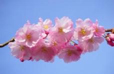 粉红色的日本樱花
