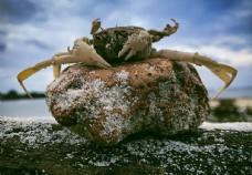 石头上的螃蟹