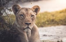 雌狮的凝视