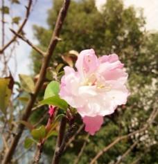 海棠花的第二春